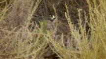 Bobcat Sleeping Behind Brush