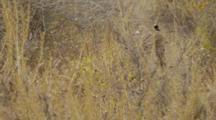 Bobcat Pauses Behind Brush, Walks Thru Brush To Trail