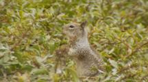 California Ground Squirrel, Standing, Turns Head Quickly