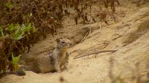 California Ground Squirrel, Alert, Turns And Runs Away Quickly