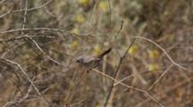 California Gnat Catcher Jumps Along Branches