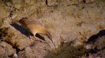 Light-Footed Clapper Rail Drinks