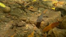 Pacific Giant Salamander, Juvenile Stage In Creek, Turns, Walks Away Left