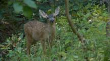 Black Tail Deer Fawn Feeds By Itself, Walks