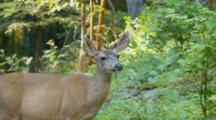 Black Tail Deer, Large Female, Feeding, Alert