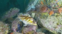 Golpher Rockfish Turns Within Its Rocky Habitat