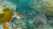 Golpher Rockfish Towards Lens, Exits Left