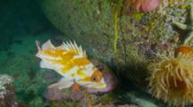 Golpher Rockfish Towards Lens, Turns Away