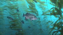 Blue Rockfish Face Current In Kelp Forest
