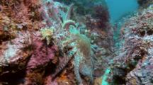 Sunflower Star Walks Between Rocks, Scares Decorator Crab