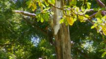 Pileated Woodpecker Feeding On Insects, Tapping Dead Tanner Oak Tree