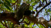 Pileated Woodpecker Feeding On Insects, Upside Down, High In Tree