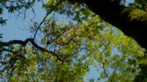 Pileated Woodpecker Feeding On Insects, Ultra Wide, High In Tree