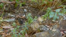 Subterranean Termites Emerge From Ground, Oregon Junco Feeds, Mid Shot
