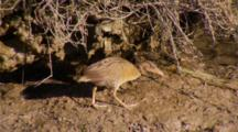 Light-Footed Clapper Rail Walks Along Mudflat Looking For Food