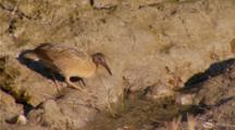 Lite Footed Clapper Rail Walks And Takes A Drink Of Water In Mudflat