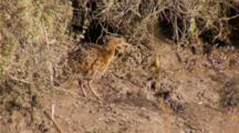 Lite Footed Clapper Rail Fluffs Out Its Plumage, Struts Around