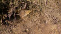 Lite Footed Clapper Rail Quickly Darts Under Pickleweed While Hunting