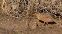 Lite Footed Clapper Rail Backs Up And Hides Under Pickleweed Canopy