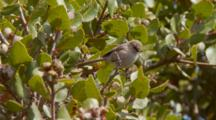 Bushtit Wetland Bird Darts Along Coastal Sage Scrub Plant Communituy