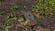 Gopher Grabs Plant Materiel And Goes Back Into Hole