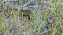 Gopher Snake Curled Up Moves Towards And Away From Lens