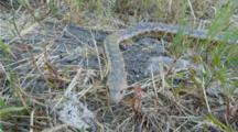 Gopher Snake Approaches Lens Flicking Tongue Then Slithers Away