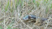 California King Snake Moves Across And Slithers Under Lens