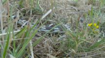 California King Snake Rapidly Moves Across Grass