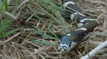 California King Snake Flicking Tongue With Its Head Very Close To Lens