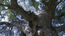 Coastal Live Oak Huge Tree Pan Looking Upward To Canopy