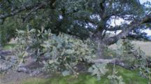 Coastal Live Oak Huge Tree, Leaves Close To Lens, Trunk Far Away From Lens
