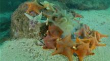 Bat Star Feed On Dead Jellyfish, Pacific Sea Nettle Jellyfish