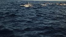 Pacific White Sided Dolphins On Surface