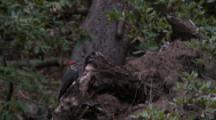 Pileated Woodpecker Feeding On Insects, Late Afternoon