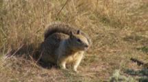 Ground Squirrel In Grass, Sniffs Air, Yawns