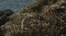 Ground Squirrel Standing In Bush Runs Down Into Bush, Ocean Background