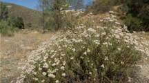 Milkweed Flowers, Tarantula Hawk Wasp Feeding Habitat