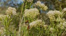 Tarantula Hawk Wasp, Three Feeding On Top Of Flower, Mid Shot