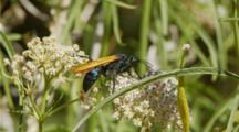 Tarantula Hawk Wasp Walks And Feeds Along Milkweed