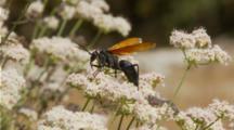 Tarantula Hawk Wasp Walks And Feeds Along Milkweed, Flies Away