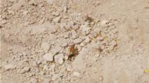 Tarantula Hawk Wasp, Female Wasp Drags Tarantula Across Ground