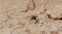 Tarantula Hawk Wasp, Female Grooms Her Antenne And Surveys Nest Area
