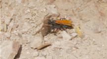 Tarantula Hawk Wasp Drags Paralized Tarantula Across Terrain