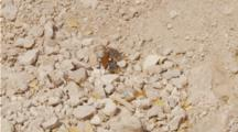 Tarantula Hawk Wasp Quickly Walks Away From Tarantula