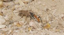 Tarantula Twitching At Edge Of Wasp Den, Wasp Grabs Spider And Drags Into Den