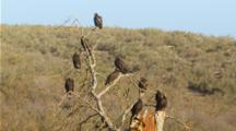 Turkey Vulture Colony Roosts On Bare Tree, See Top Of Tree, Mid Shot