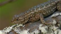 Western Fence Lizard On Fence, Cu Of Head And Front Leg, Breathing