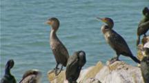Brandt's Cormorant On Rock Jiggle Neck