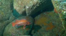 Vermillion Rockfish Swims Between Rocks